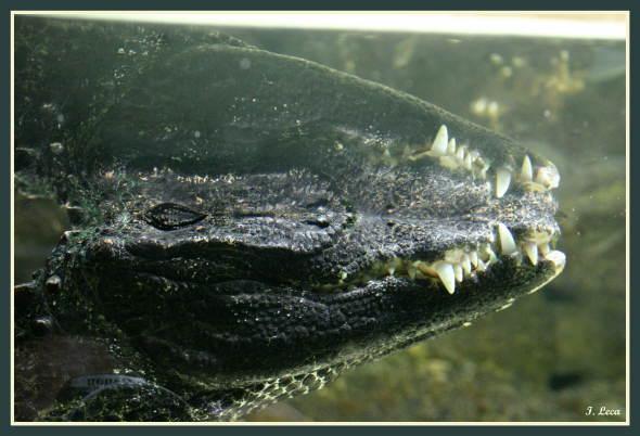 que dit un crocodile quand il en rencontre un autre